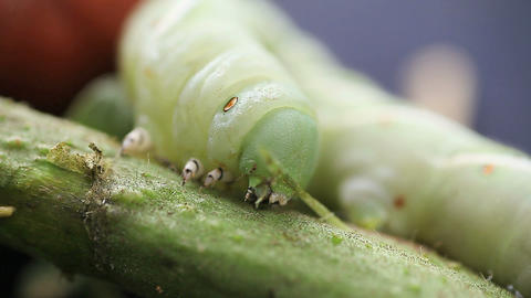 tomato worm moves along plant stalk Footage