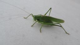 Great Green Bush-Cricket (Tettigonia viridissima) walking Footage