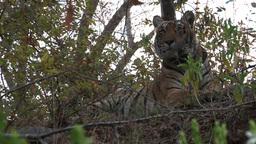 Bengal Tiger (Panthera tigris tigris) Footage