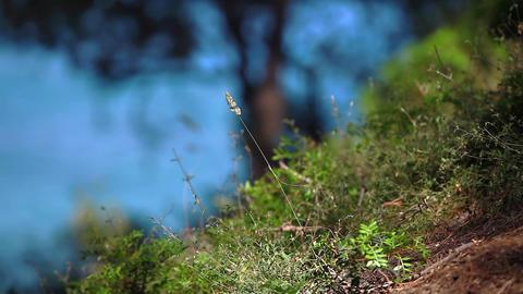 Grass Spikelet stock footage