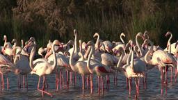 Greater Flamingo ( Phoenicopterus Roseus) stock footage