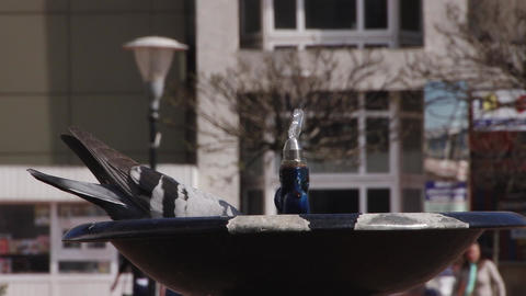 Pigeon drinking water Footage