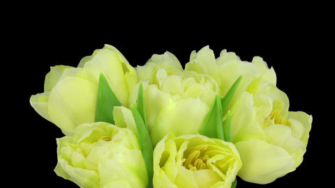 Time-lapse opening yellow tulip bouquet with ALPHA matte 9 Stock Video Footage
