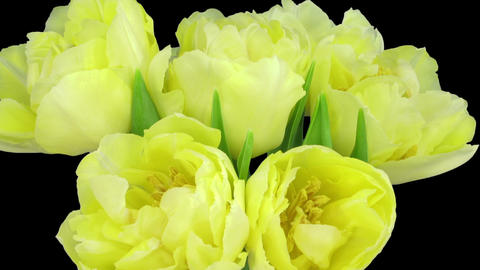 Time-lapse opening yellow tulip bouquet with ALPHA matte 9 Footage