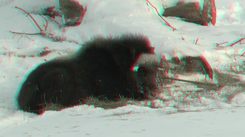 Stereoscopic 3D of buffalo in winter 3 combo Stock Video Footage