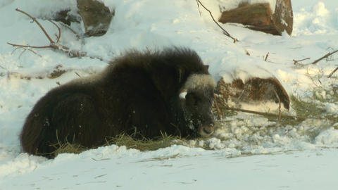 Stereoscopic 3D of buffalo in winter 3 combo Footage