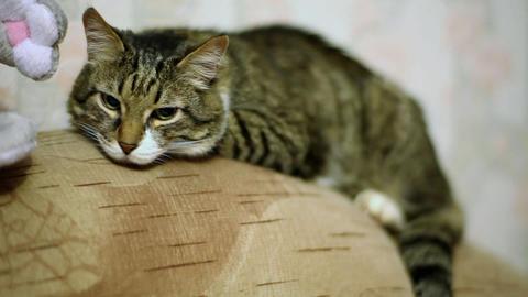 Sleeping cat Stock Video Footage