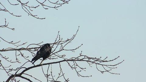 Ravens on tree 17 Stock Video Footage
