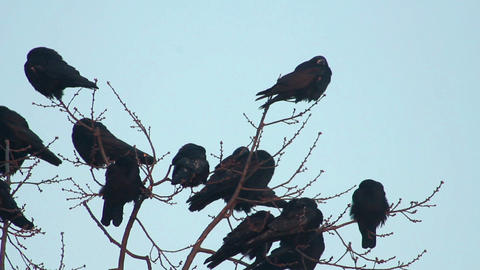 Ravens on tree 19 Stock Video Footage