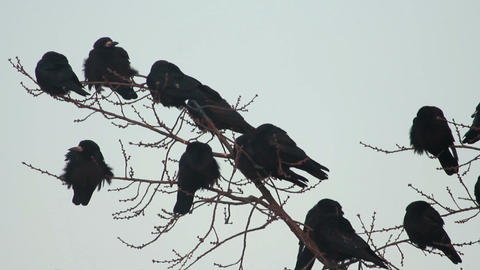 Ravens on tree 21 Stock Video Footage