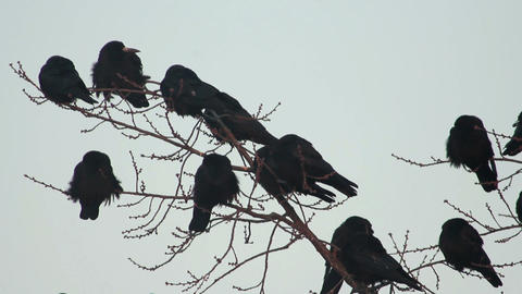 Ravens on tree 21 Stock Video Footage