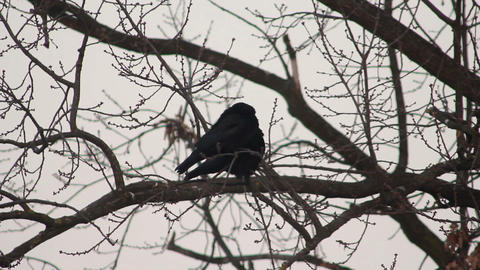 Ravens on tree 23 Stock Video Footage