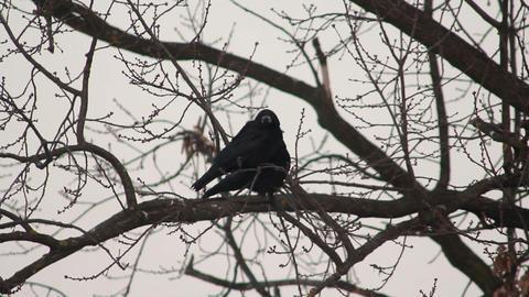 Ravens on tree 23 Stock Video Footage