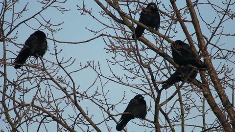 Ravens on tree 25 Stock Video Footage