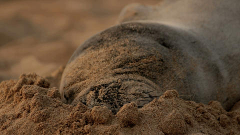sleeping Hawaiian monk seal 2 shots Stock Video Footage