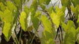 Taro plants 2 Footage