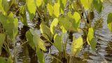 Taro Plants stock footage