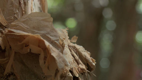 paper bark tree Stock Video Footage