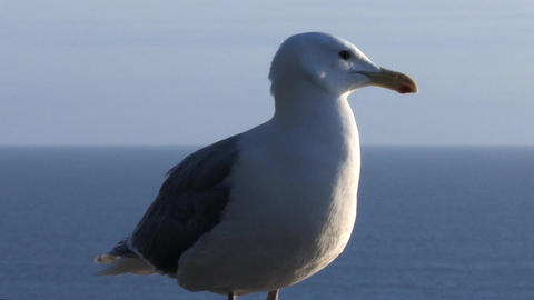 Seagull on Stone Wall 3 Stock Video Footage