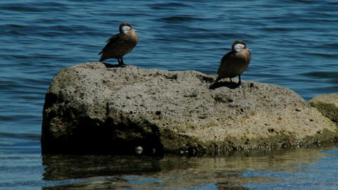 birds on the sea Stock Video Footage