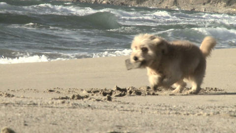 close up dog running with wood stick in mouth italian... Stock Video Footage