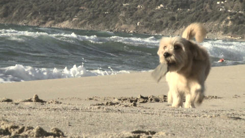 Close Up Dog Running With Wood Stick In Mouth Italian Beach Slow Motion stock footage