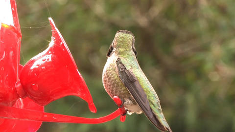 Humming Bird Stock Video Footage
