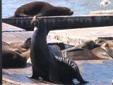 Sea Lions Footage