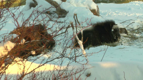 Stereoscopic 3D of buffalo in winter 4 combo Footage