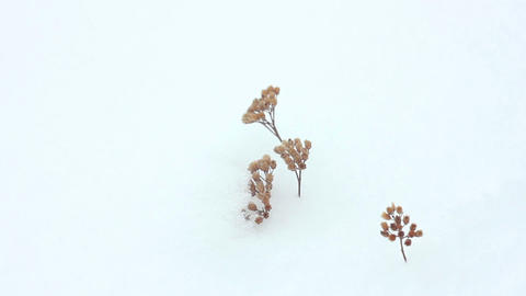 Grass in snow 3 Stock Video Footage