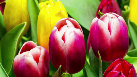 Bouquet of Bright Tulips Blooms Footage
