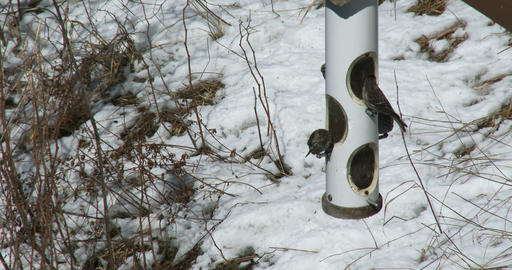 Chickadees eating seeds in winter Footage