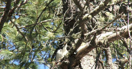 Woodpecker resting on a branch Footage