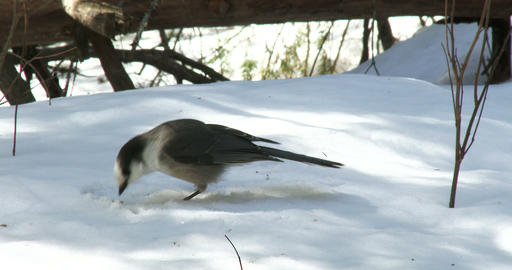 Gray jay eating seeds on the snow Footage