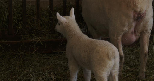 Small lamb trying to breastfeed form a sheep Footage
