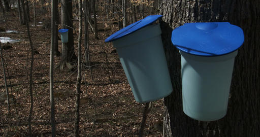 Buckets used to collect maple syrup Footage