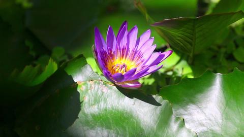 Lotus flower Footage
