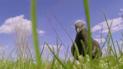 Pigeon Close-up 04 stock footage