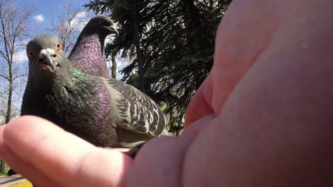 Pigeon Close-up 02 stock footage