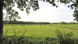 Herd Of Cows In Meadow stock footage