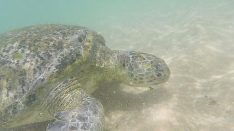 large sea turtle underwater close-up Footage