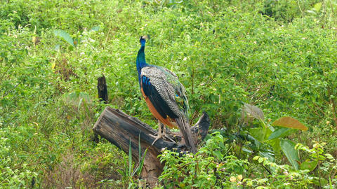Peacock Sitting On Branch In Sri Lanka stock footage
