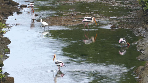 Painted Stork birds hunting in lake - Sri Lanka Footage