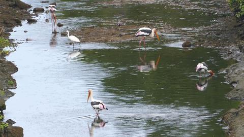 Painted Stork birds hunting in lake - Sri Lanka Footage