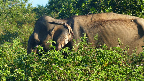 indian elephant eating grass in jungle Footage