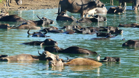 many wild buffalo bathing in the lake in Sri Lanka Footage