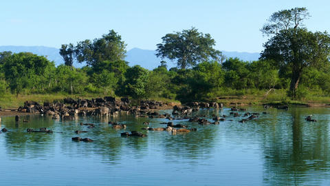 many wild buffalo bathing in the lake in Sri Lanka Footage