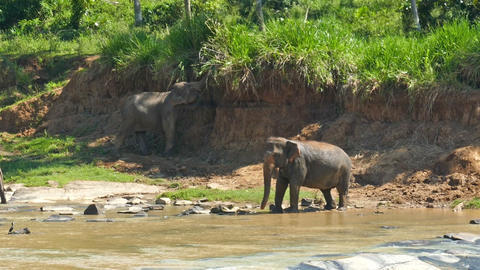 Elephants in the river - Sri Lanka Footage