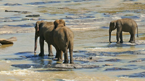 Elephants in the river - Sri Lanka Footage