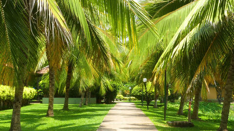 beautiful alley between coconut palms Footage